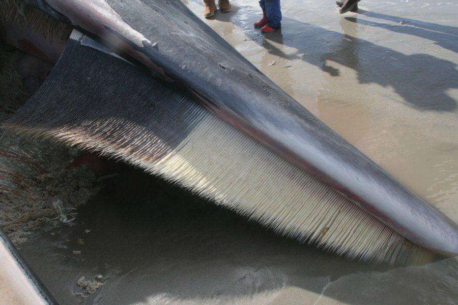 De witte baleinen voorin de bek en de grijze erachter zijn op deze foto duidelijk zichtbaar. Foto: Rinus Noort