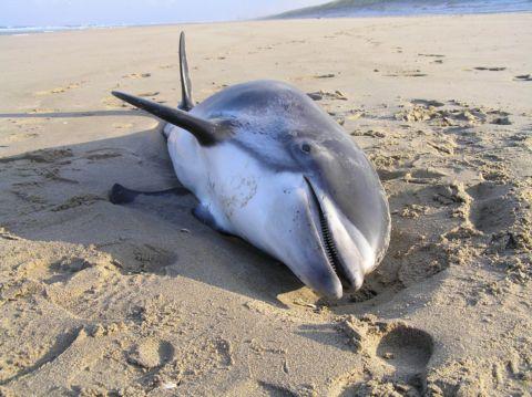 4 maart 2006: Witsnuitdolfijn op het strand van Noordwijk. © Pieter Thomas