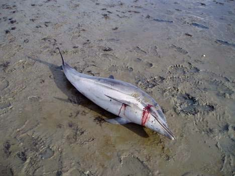 Gestreepte dolfijn op het wad bij Vlieland. Mogelijk is het oog door vogels uitgepikt. Dat gebeurt vaak al binnen een uur na de stranding van een dolfijn.