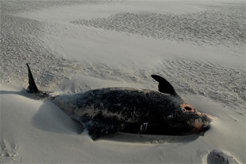 Witsnuitdolfijn, gestrand op De Hors bij Texel, op 10 december 2006